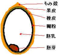 玄米断面図